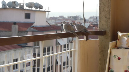 2 lovely dove birds sit on balcony railing, look around