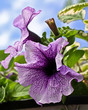 beautiful violet petunia