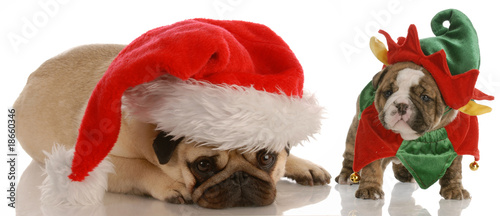 santas helpers - pug dressed as santa and  bulldog elf