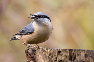 nuthatch with birdseed
