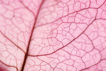 macro of a bougainville flower leaf