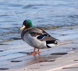 male mallard duck at waters edge