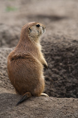 Prairie dog stading next to hole