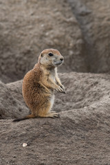 Small prairie dog