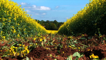 Rapeseed field ready for cropping