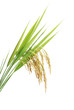Rice - 18701199