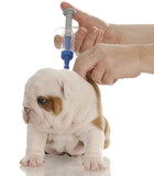 veterinary care - english bulldog puppy with toy needle .. poster