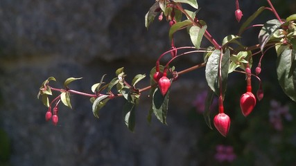 Red fuchsia on branch in garden