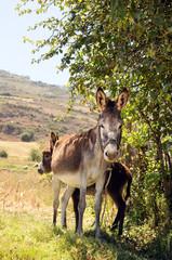 Female Donkey and Foal
