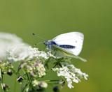 Green-veined white (Pieris napi) feeding on white flowers. poster