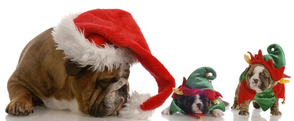 english bulldog santa with two bulldog elf helpers