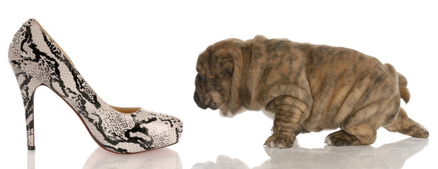 four week old  bulldog puppy sneaking up on shoes