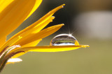 Fototapeta nagietek - makro - Kwiat