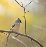 Tufted Titmouse (Baeolophus bicolor) poster