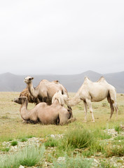 Herd of Bactrian camels