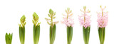 growing pink hyacinth, isolated on white