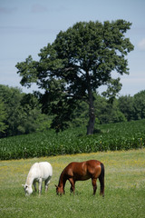 horses in Field with Corn Vertical