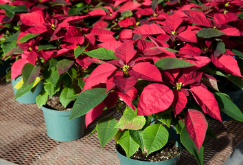 red poinsettia