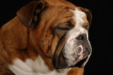 red brindle english bulldog with sad looking expression poster