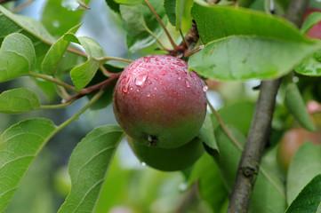 Äpfel 120