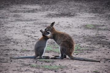 Känguru / Wallaby Harmonie