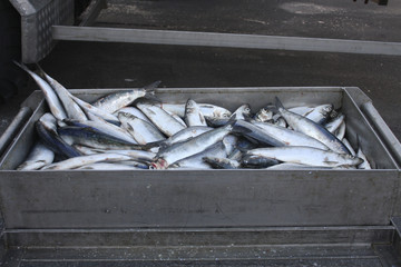 Herring (Clupea harengus) in stainless steel box.
