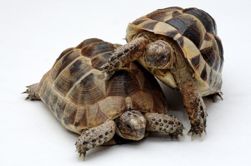 Tortoise, turtle, reptile, amphibian, animal