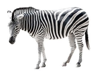 Zoo single burchell zebra isolated on white