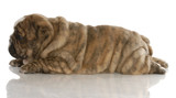 red brindle english bulldog puppy laying down from the side poster