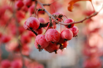 A branch of crab apple tree with bunch of ripe red fruits