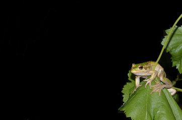 frog on a grape leaf
