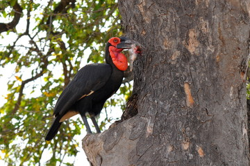 southern ground hornbill with prey,Kruger NP,South Africa
