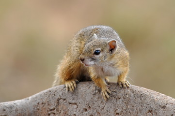 tree squirrel in Kruger national park,South Africa