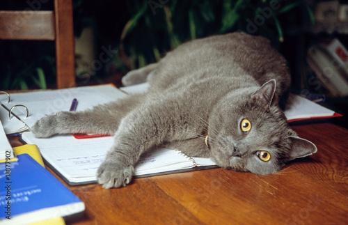 Chat des chartreux allong sur le bureau de son ma tre de callalloo candcy photo libre de - Chat qui dort sur son maitre ...