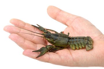 Live river crayfish in hand