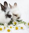 Leinwandbild Motiv Two little rabbits