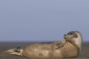 Young seal pupat Donna Nook