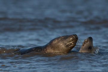 Bull and cow Gray seal courting in the sea