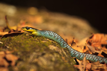 Green tree snake dislaying colorful rainbow scales