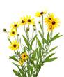 yellow rudbeckia