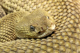 Mexican West-Coast Rattlesnake - Crotalus Basiliscus poster