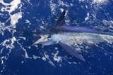 Fototapety Atlantic white marlin big game sport fishing