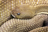 Mexican West-cost Rattlesnake (Crotalus Basiliscus) poster
