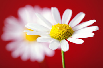 View of chamomile on red background.