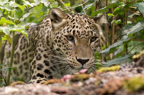 Fotobehang Luipaard Persian Leopard