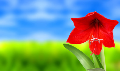 Red amaryllis on meadow background