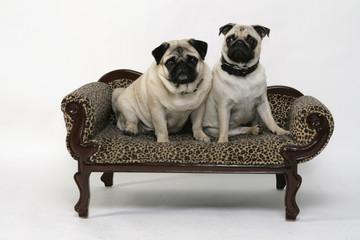 Zwei Möpse auf dem Hunde Sofa