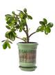 Crassula (dollar tree) plant isolated on white.