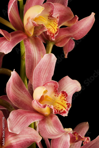 Pink Purple Orchid Black Background