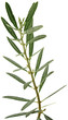 rameau olivier fond blanc